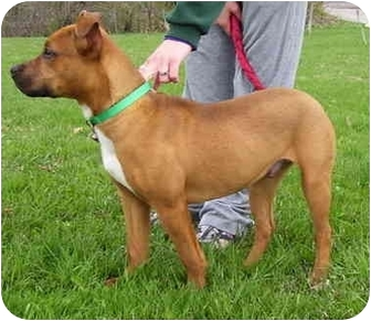 American Pit Bull Terrier Mix Dog for adoption in Somerset, Pennsylvania - Ozzy