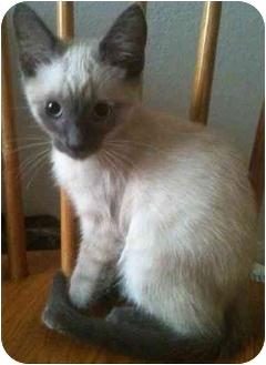 Siamese Kitten for adoption in Newburgh, Indiana - Dylan