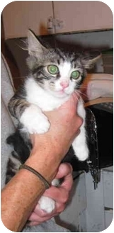 Maine Coon Kitten for adoption in Randolph, New Jersey - Ruffles