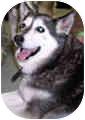Siberian Husky Dog for adoption in Boyertown, Pennsylvania - Topper