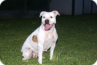 American Bulldog Dog for adoption in Homestead, Florida - Ivonne