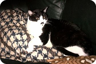 Domestic Mediumhair Cat for adoption in Laguna Woods, California - Buddy-Tuxedo