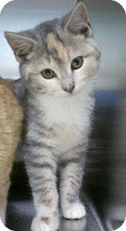 Domestic Shorthair Kitten for adoption in Richboro, Pennsylvania - Rose Marie